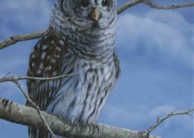 Barred Owl SOLD