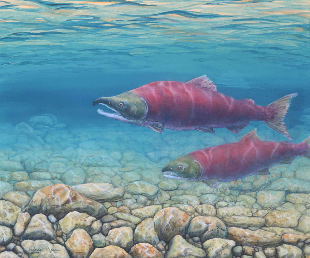 A Valerie Rogers painting of spawning Sockeye Salmon
