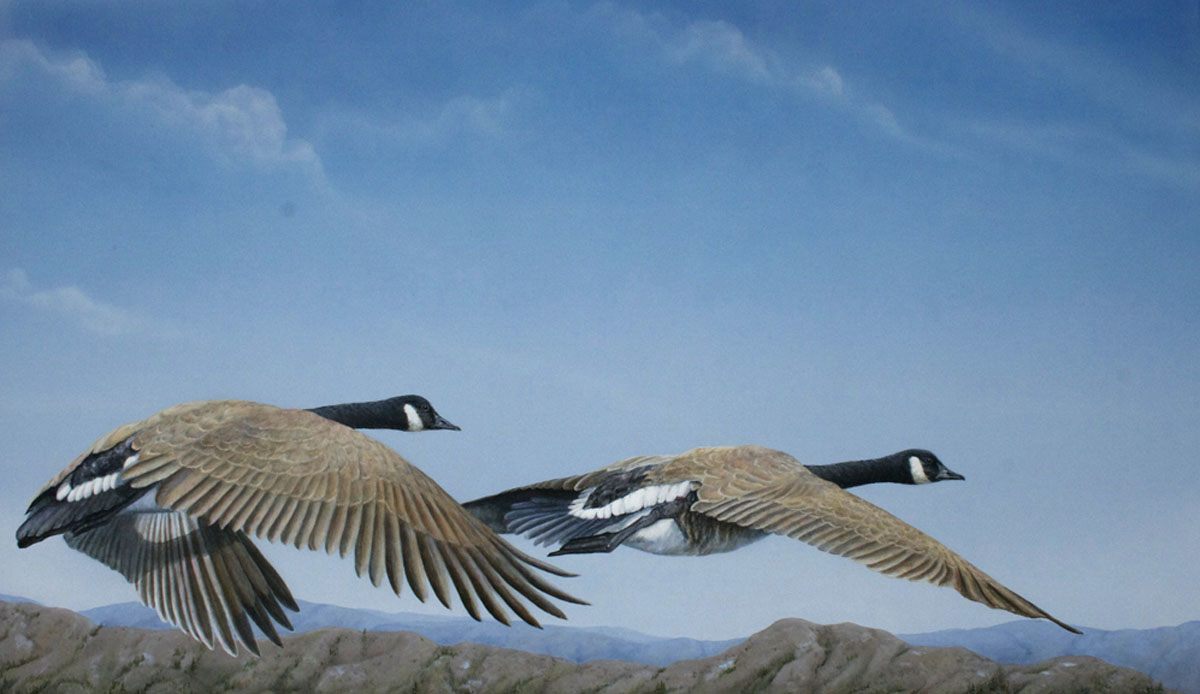Canada_Geese_Valerie_Rogers_Lift_Off_5