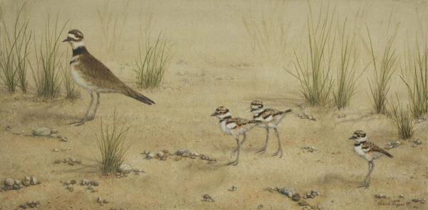 killdeer hen with chicks on sand